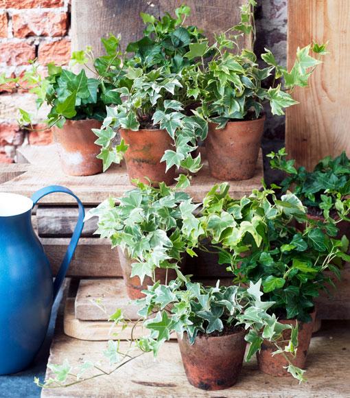 hiedra de hojas peque as planta del mes de abril para